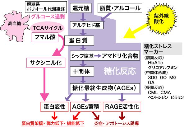 図2 糖化ストレスの概念図