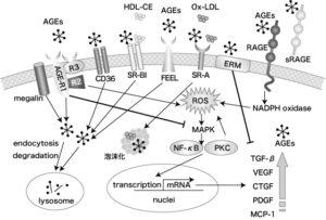図1 AGEs受容体