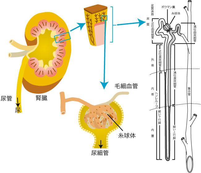 図1 腎臓の構造