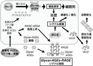 図2. NASHの発症・進展におけるGlycer-AGEsの肝細胞への影響