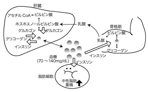 図 1. 糖代謝および血糖の調節機構