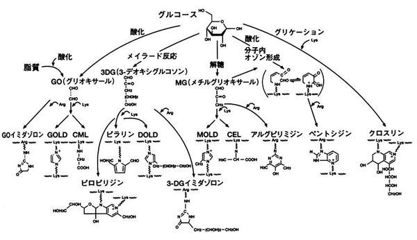 図1. 生体中AGEsの生成経路