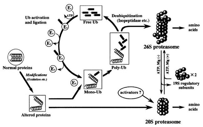 図 2. プロテアソームによるユビキチン化蛋白分解作用(Goto S, et al (2001) 4) )