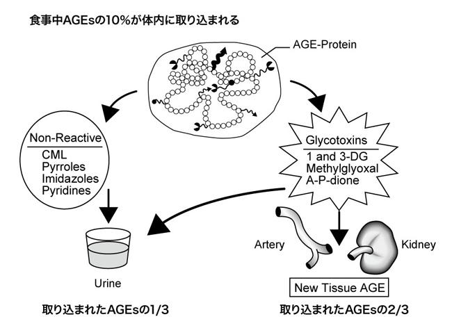 食事由来AGEsの吸収・排泄